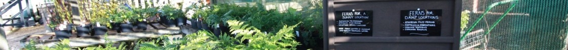 March plant of the month – Evergreen Ferns