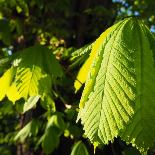Plant of the month : The Horse Chestnut